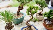 151026_sasayamarche_bonsai