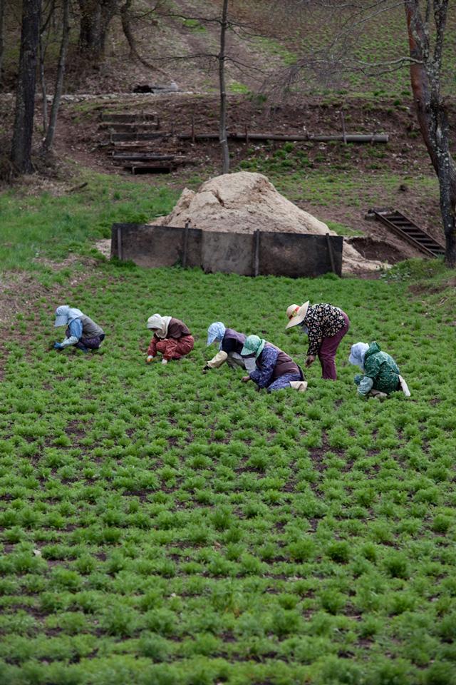 カモミール栽培